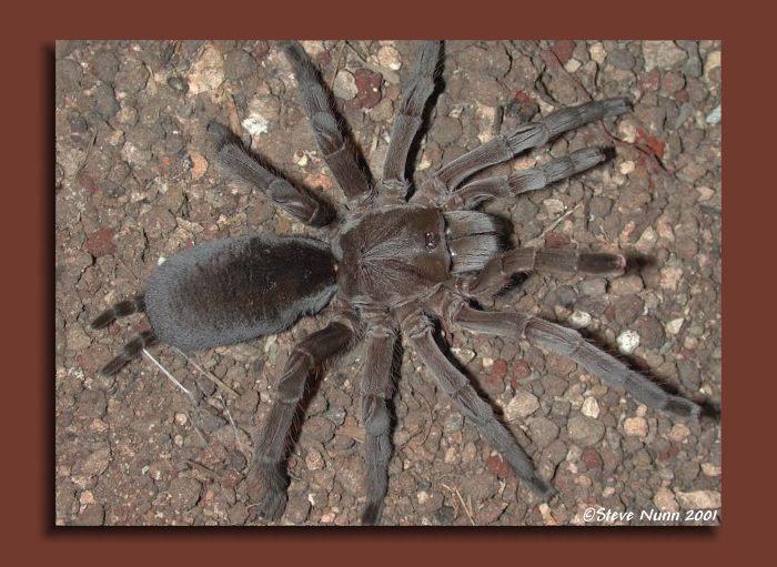 steve nunn u0026 39 s australian tarantulas